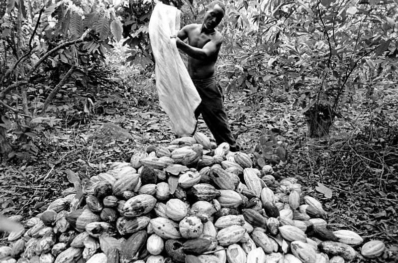 A Burkinabé man collects cocoa pods on a plantation in Côte d'Ivoire. Non-Ivorians have been the primary source of labour in the plantations, which brought wealth to the country. But they have been made scapegoats for many of the nation's economic and political problems. Most have lived in Côte d'Ivoire for decades, yet millions cannot prove their nationality. Few have legal claim to the land.