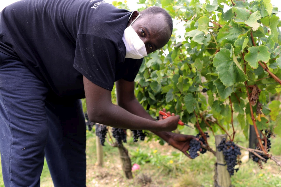 Zakaria, from Sudan, is one of a team of refugees working in the vineyards at Château de Pedesclaux in the Pauillac area of Bordeaux.