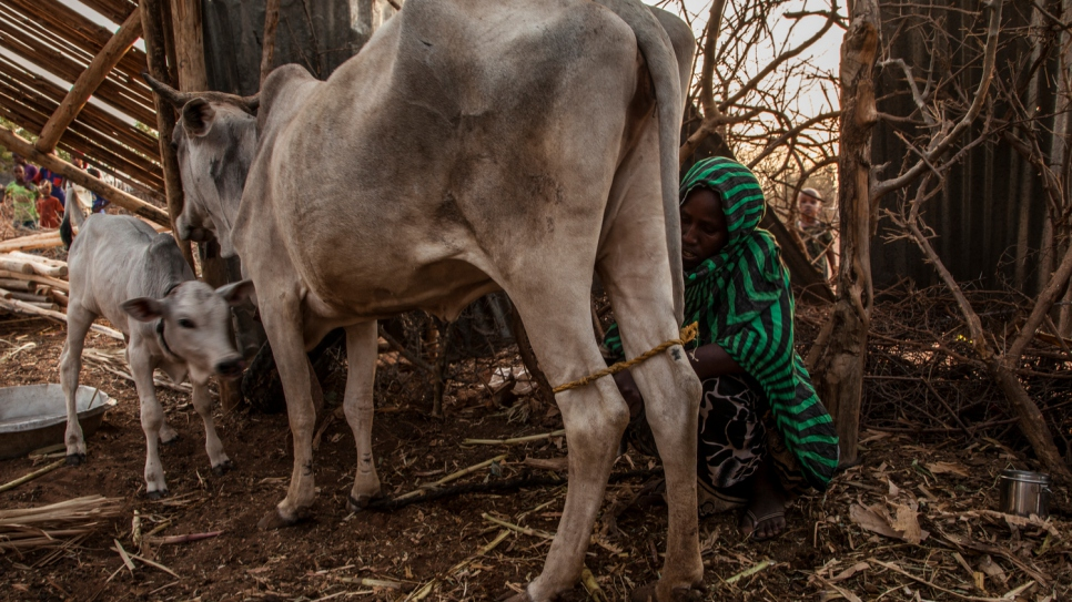 A farmer milks her cow. She sells the milk to the Dairy Retail Cooperative  run by Somali women at the Melkadida refugee camp.