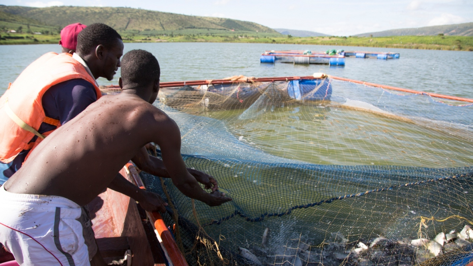 Members of a fish farm association harvest white tilapia from Lake Rwamunga in Uganda's Isingiro district.