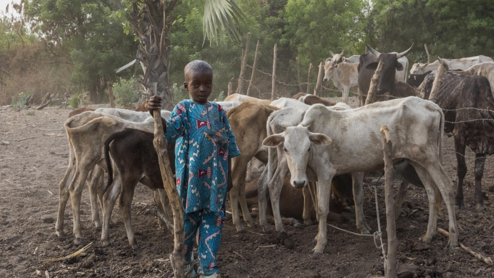 Four-year-old  Rachel Tall with some of the family cattle, Kong, Côte d'Ivoire.